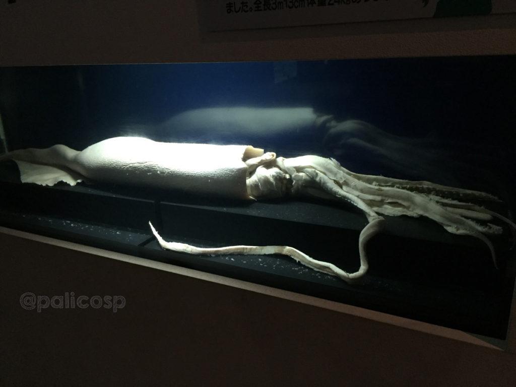 津軽海峡の巨大イカ|浅虫水族館