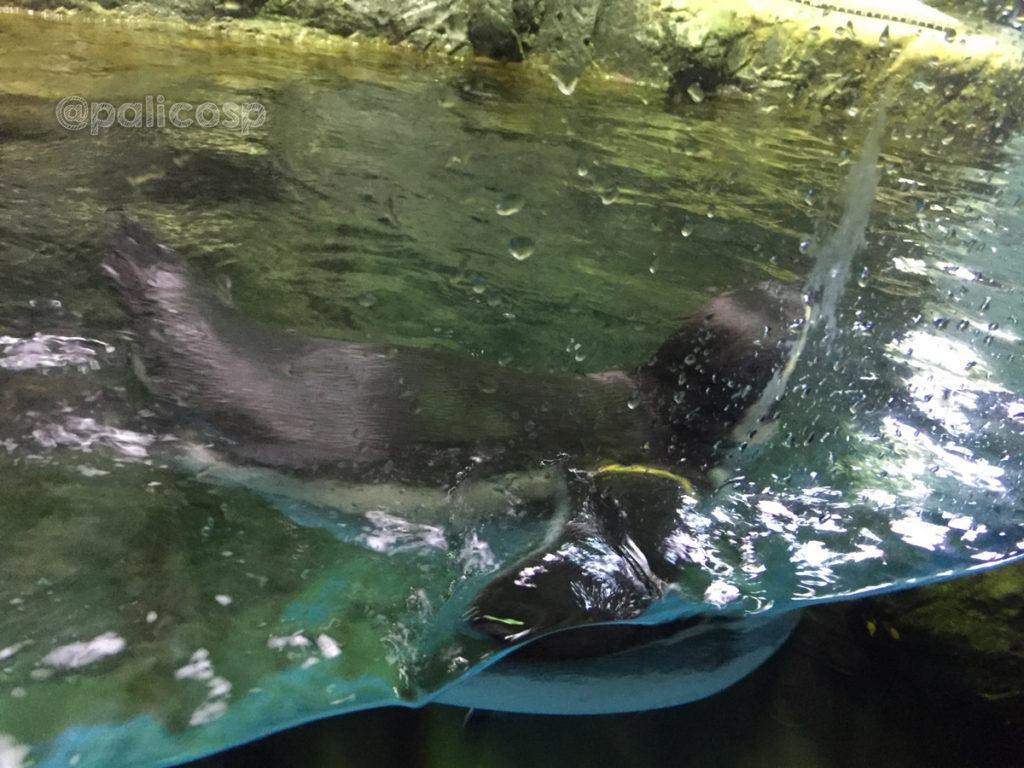 カメラを持っている人へ突進してくるペンギン|浅虫水族館