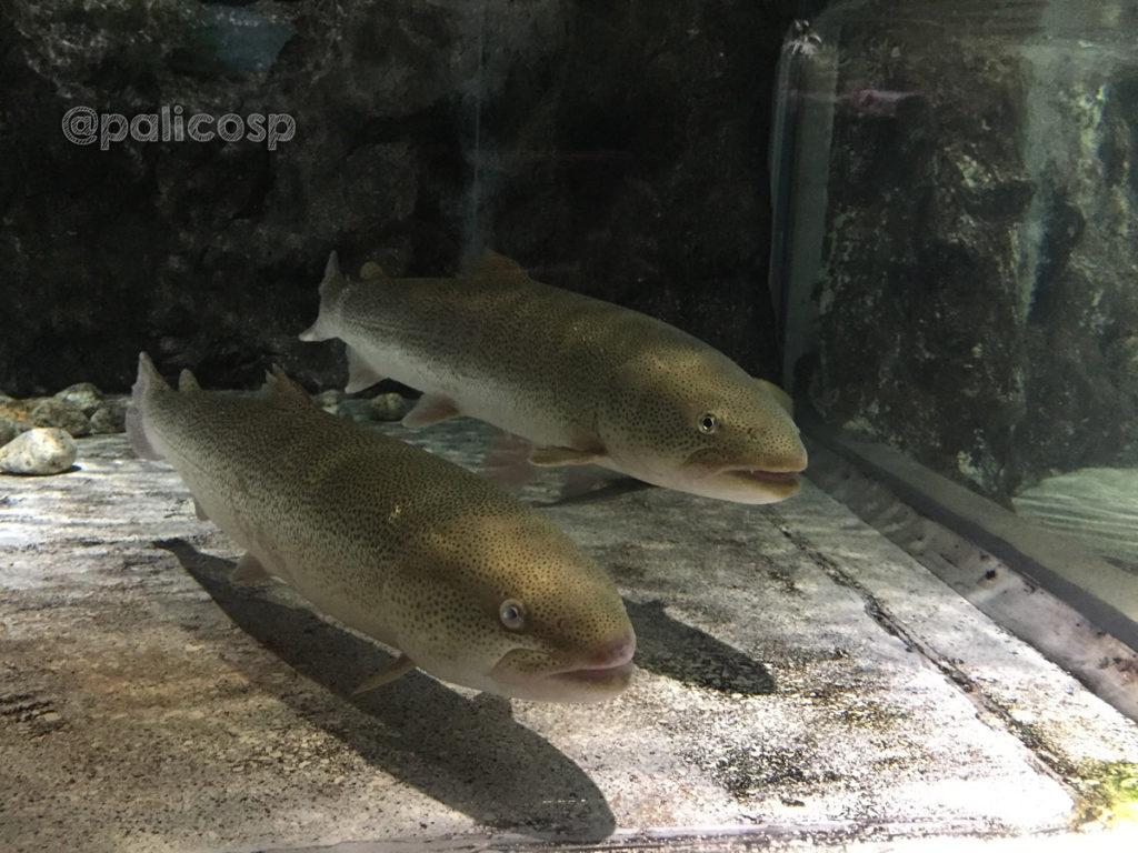 幻の魚イトウ|浅虫水族館