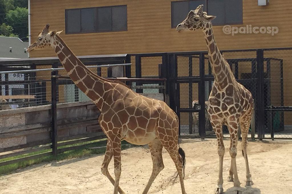 福山動物園|キリン