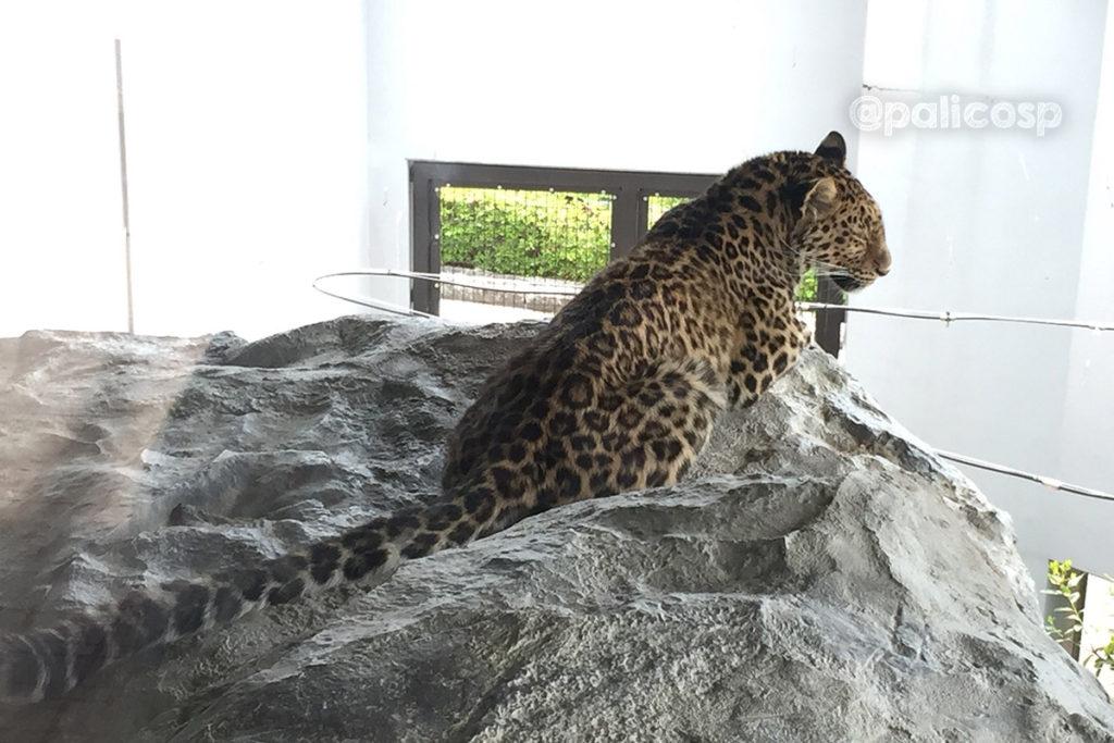 福山動物園|アムールヒョウ