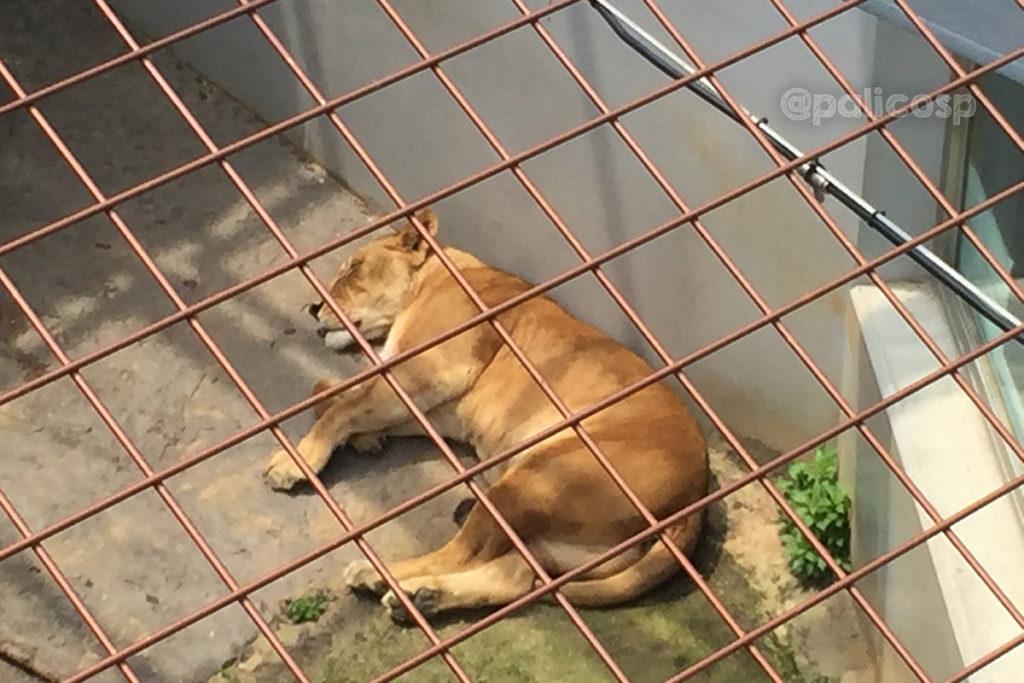福山動物園|ライオン