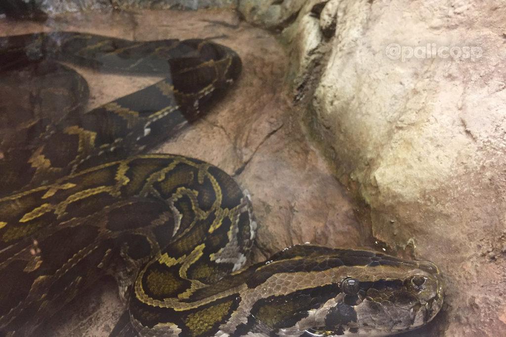 福山動物園|ビルマニシキヘビ